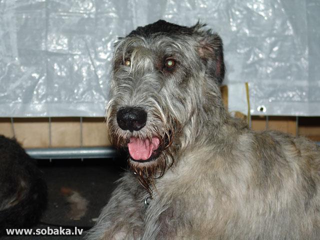 Irish wolfhound Vejgari Jonglei