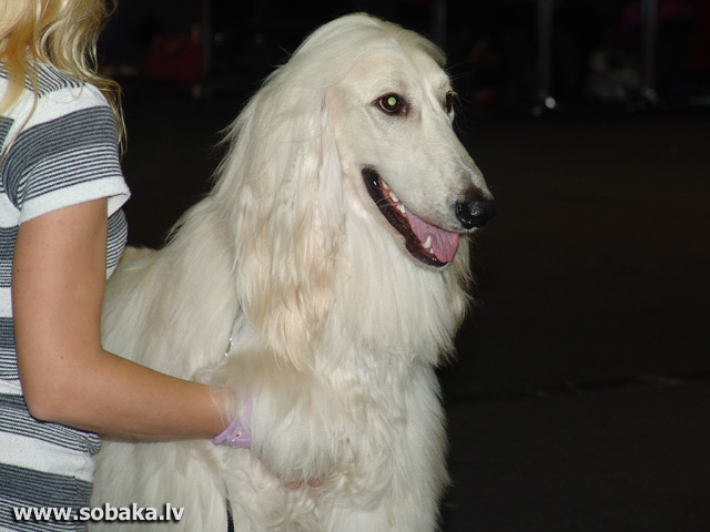 Афганская борзая 