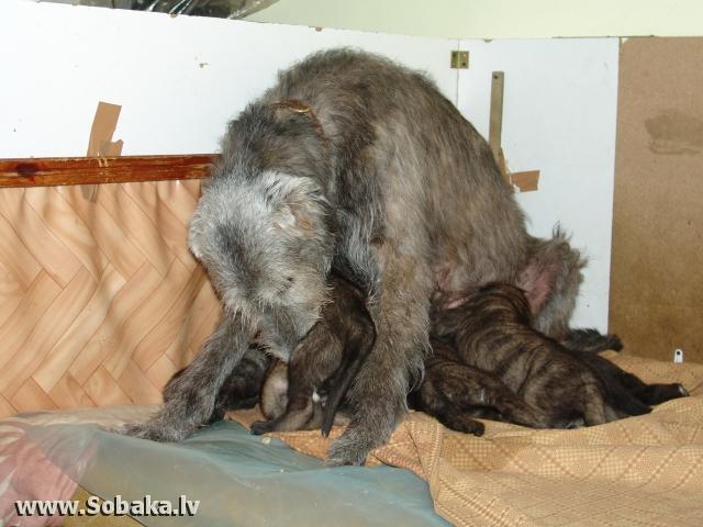 Ирландские волкодавы - общий фотоальбом Вейгари К... (1 месяц) Питомник ВЕЙГАРИ