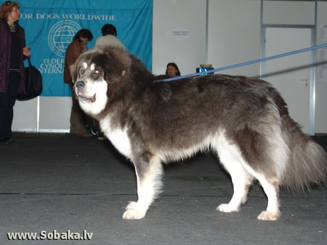Тибетский мастиф 