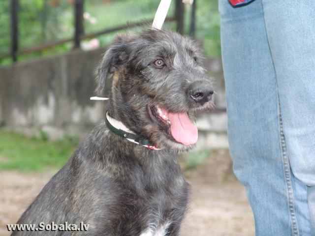Irish wolfhound Vejgari Kvinto