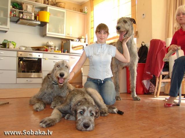 Irish wolfhounds  Kennel VEJGARI