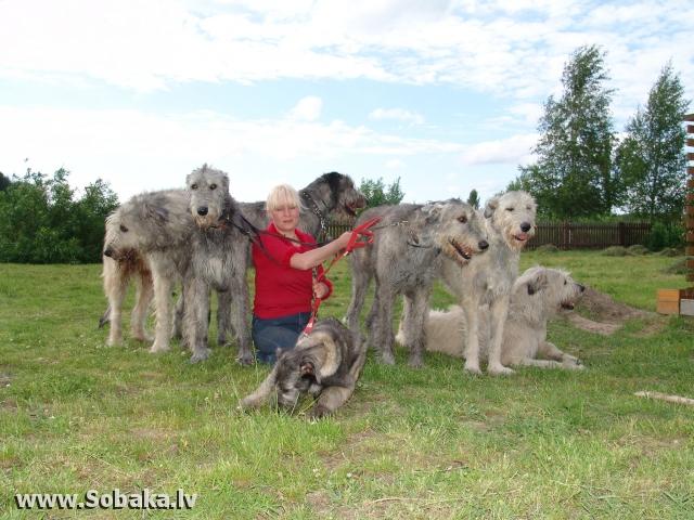 Ирландские волкодавы - общий фотоальбом  Питомник ВЕЙГАРИ