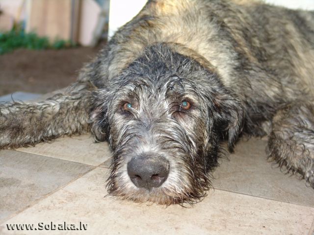 Irish wolfhound Vejgari Kozir At Castaway