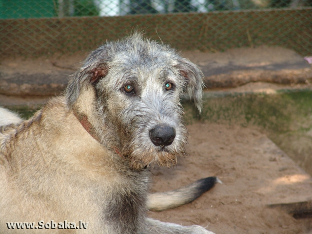 Irish wolfhound Vejgari Koresh