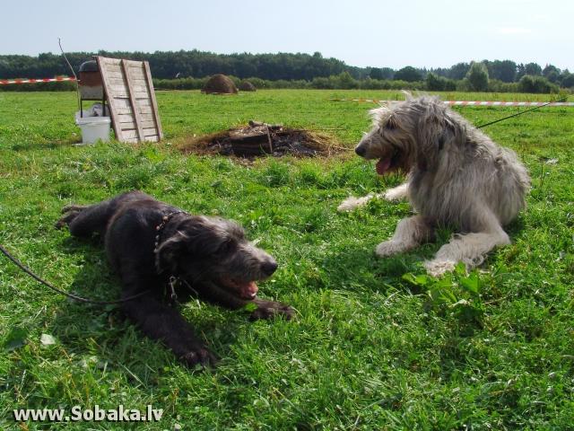 Ирландские волкодавы - общий фотоальбом Кекс и Бармалей Питомник ВЕЙГАРИ